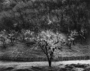 seagravegallery-ansel-adams-oak-tree-rain-sonoma-county-california-1960